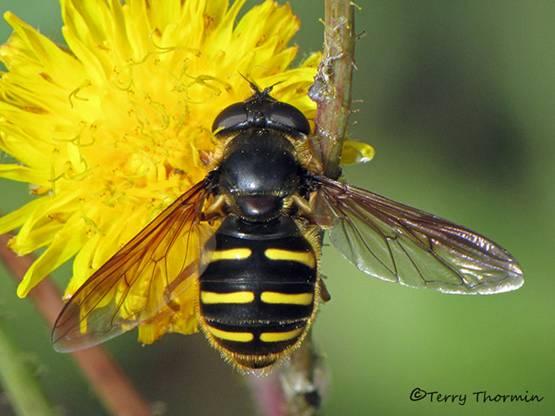 Sericomyia chrysotoxoides - Flower Fly 1b.jpg