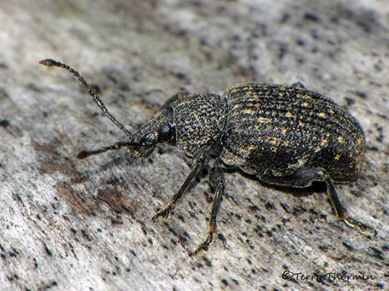 Otiorhynchus sulcatus - Black Vine Weevil 2a.jpg