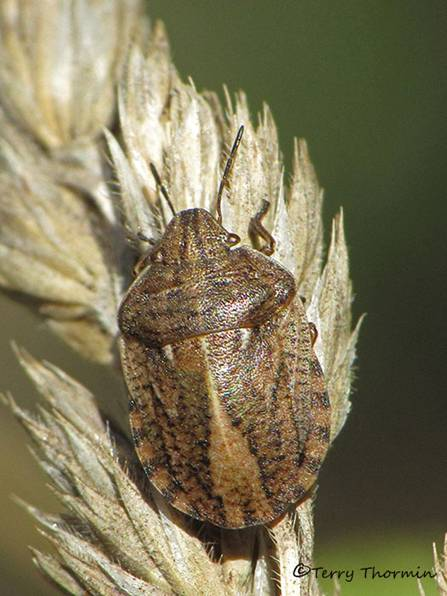 Eurygaster amerinda - Shield-backed Bug 1a.jpg