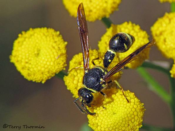 Eumeninae - Potter wasp A1a.jpg