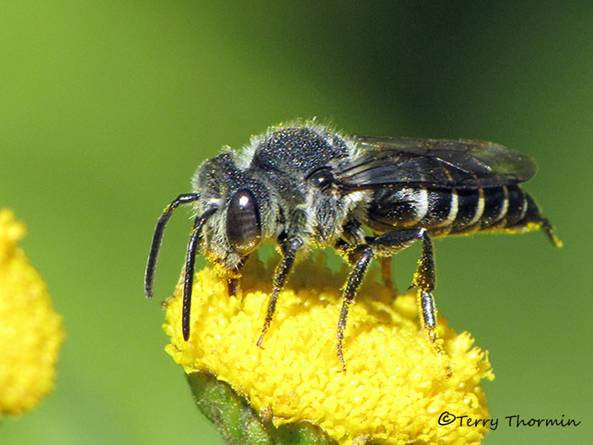 Coelioxys sp. - Leaf-cutter Bee A3a.jpg