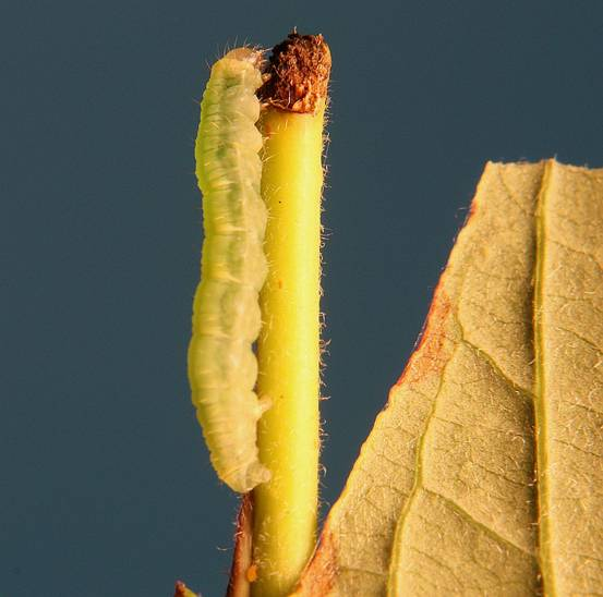 Hydrelia albifera.JPG